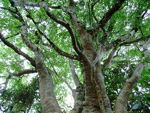 milkwood tree and boy