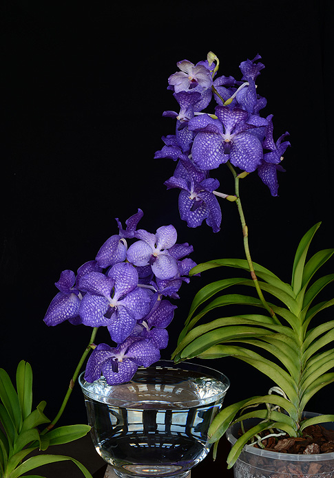 blue angel orchid essence