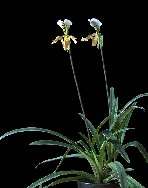 winged messenger orchid essence