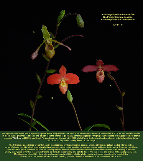 andean fire orchid essence