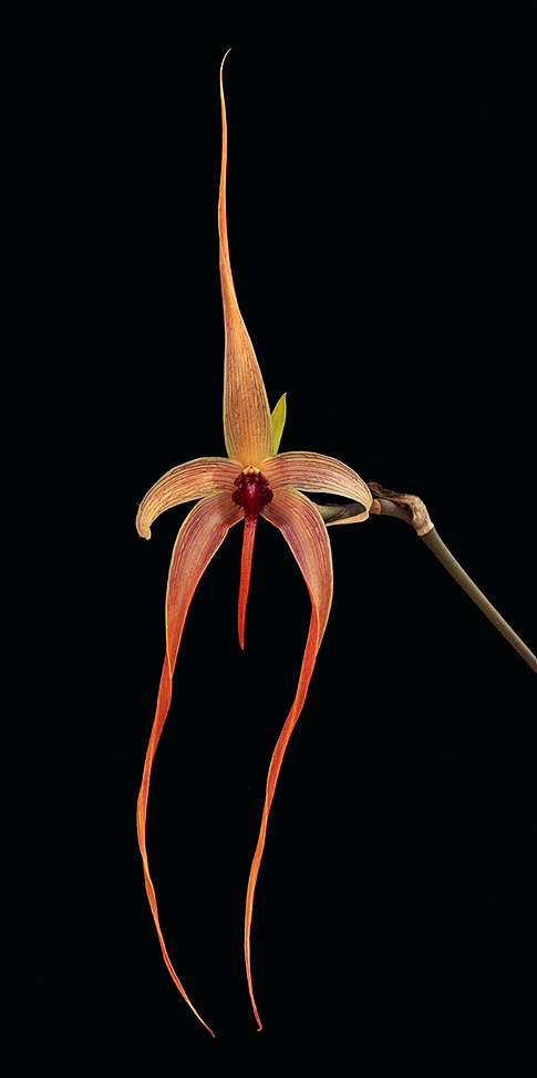 internal cleansing orchid