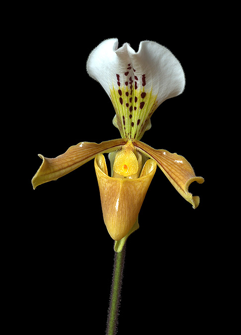 winged messenger orchid