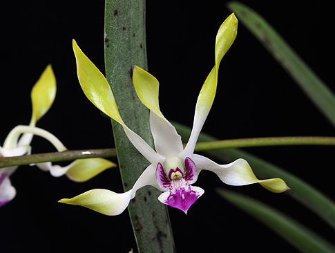 moon child orchid