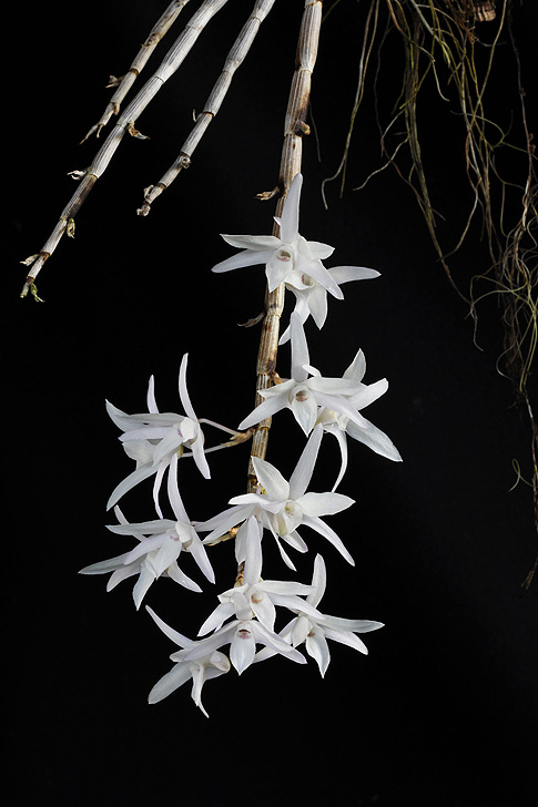 purity of soul orchid