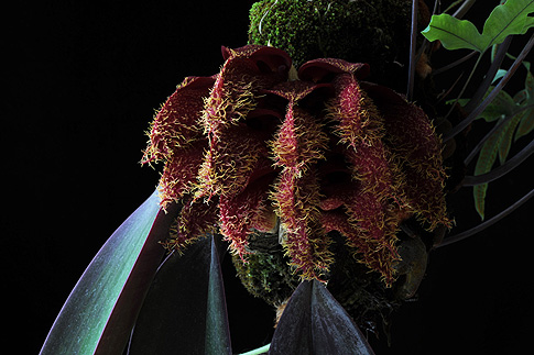 shadow warrior orchid