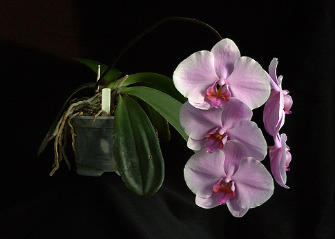 wisdom of compassion orchid